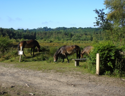 Exmoor ponies grazing by path
