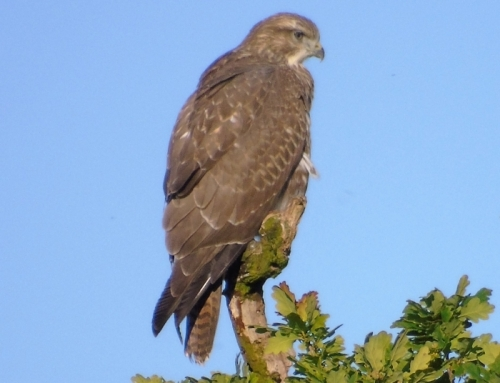 Buzzard perched on tree seen from BCS
