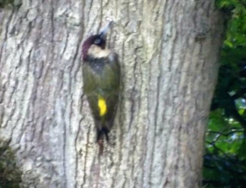 Green woodpecker on oak tree