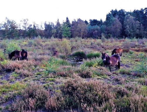 Exmoor ponies on rifle range, Broadwater Warren, autumn