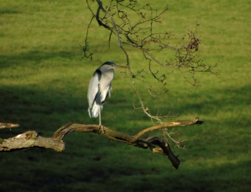 Heron perched on tree above pond in front of Flying Horse Cottage