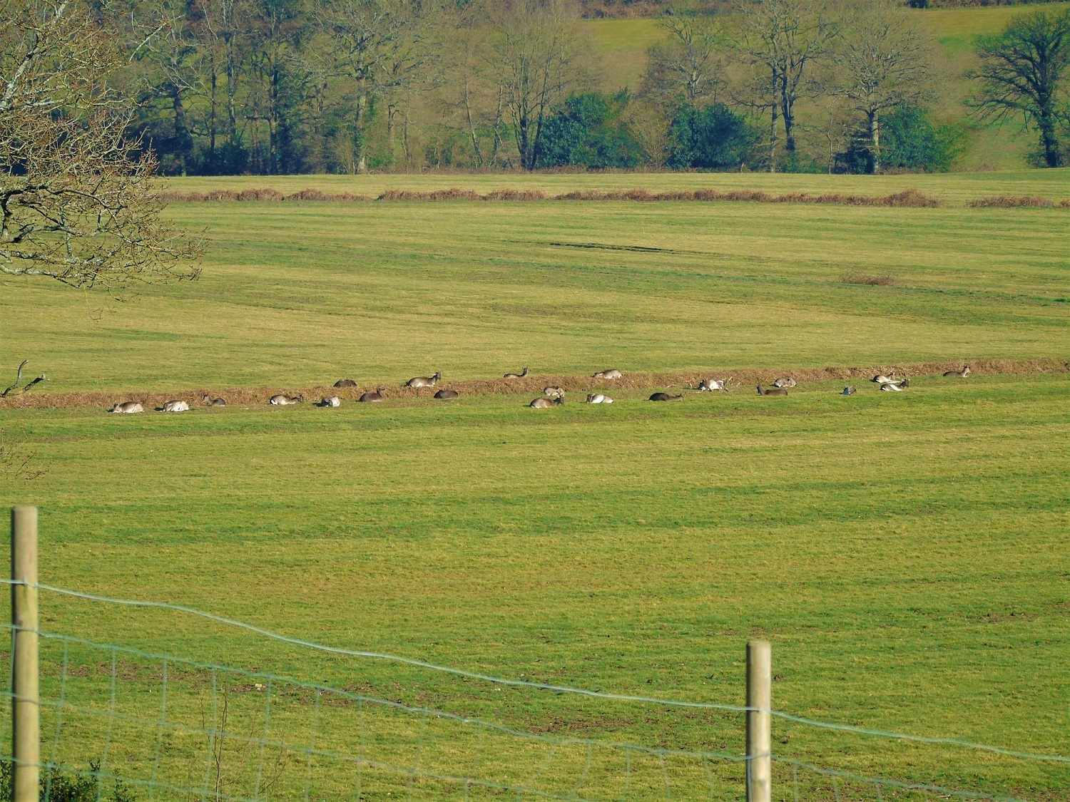 Line up of deer on Spratsbrook farm as seen from Flying Horse Cottage